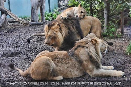 Lion Family: Löwen