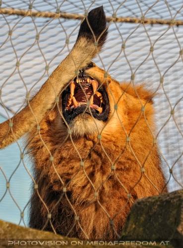 Geh weg mit dein Schwaf: Löwen