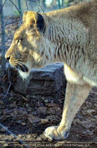 Löwin Profil