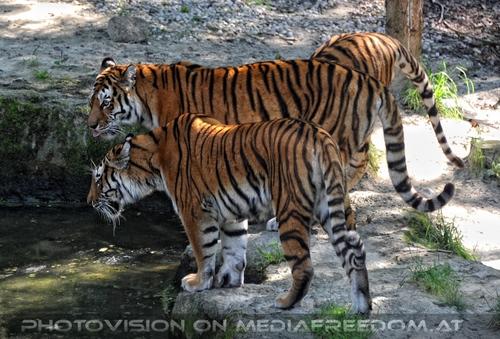 Aufgepasst: Sibirischer Tiger