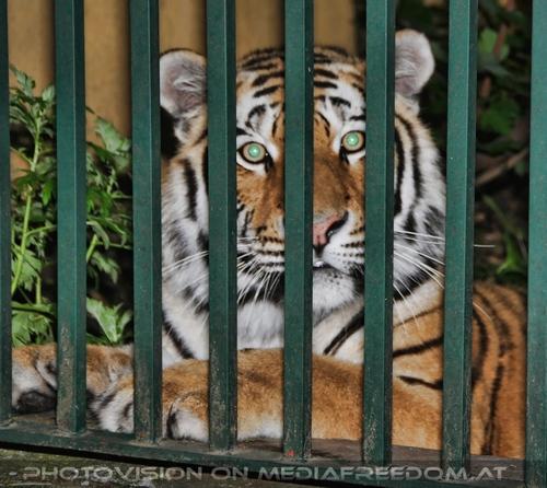 Tiger look: Sibirischer Tiger