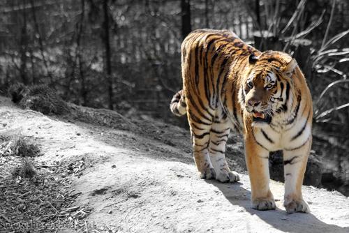 Tiger: Sibirischer Tiger