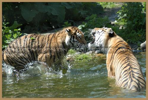 Schrei mich nicht an....: Tiger