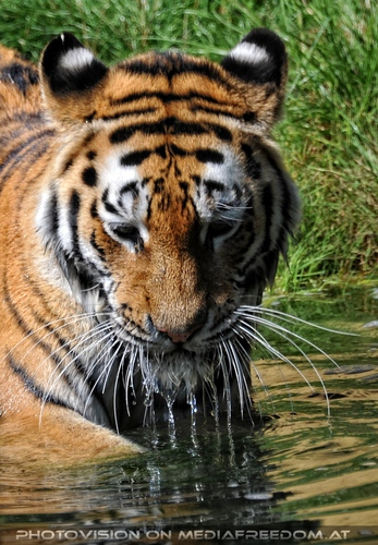 Der grüne Ball 07: Sibirischer Tiger