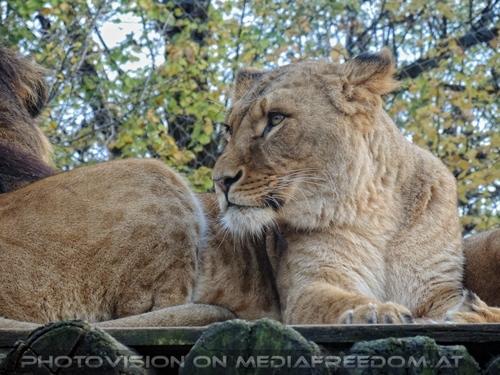 Afrikanische Löwen 03