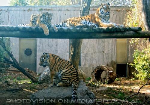 Sibirische Tiger 1
