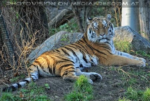 Sibirischer Tiger 05