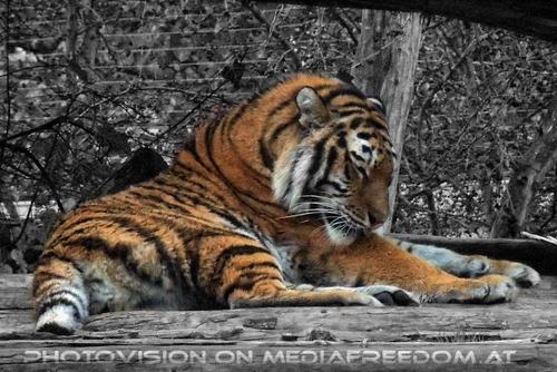 Sibirischer Tiger 08