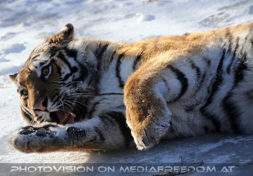 Spielen auf Eis: Sibirischer Tiger