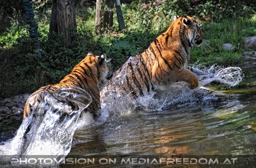 Spiel im Wasser 01: Sibirischer Tiger