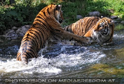 Spiel im Wasser 02: Sibirischer Tiger