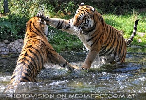 Spiel im Wasser 03: Sibirischer Tiger