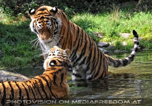 Spiel im Wasser 04: Sibirischer Tiger