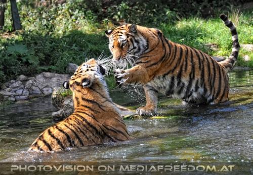 Spiel im Wasser 05: Sibirischer Tiger