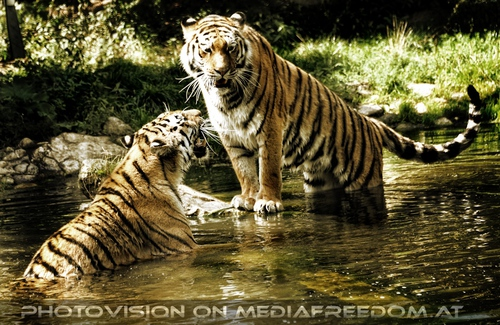 Spiel im Wasser 06: Sibirischer Tiger