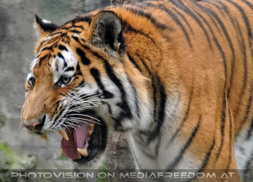 Sibirische Tiger 09