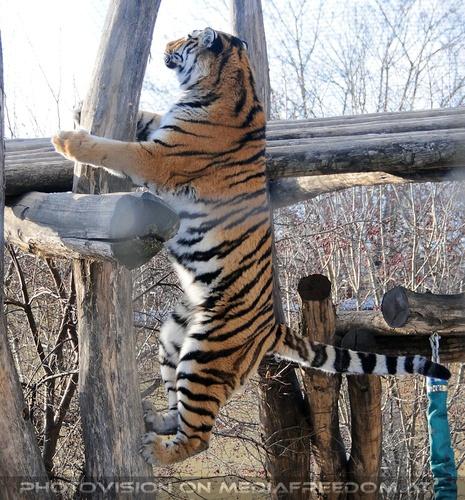 Mit einem Sprung...: Sibirischer Tiger