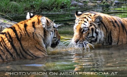 Spiel im Wasser 07: Sibirischer Tiger