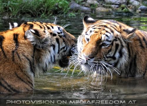Spiel im Wasser 08: Sibirischer Tiger