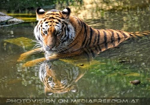 Entspannung im Teich: Sibirischer Tiger