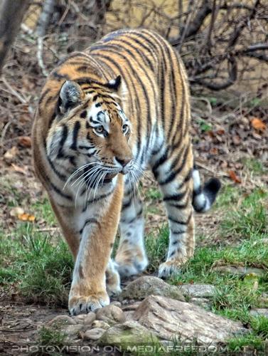 Tiger schleicht herum: Sibirischer Tiger