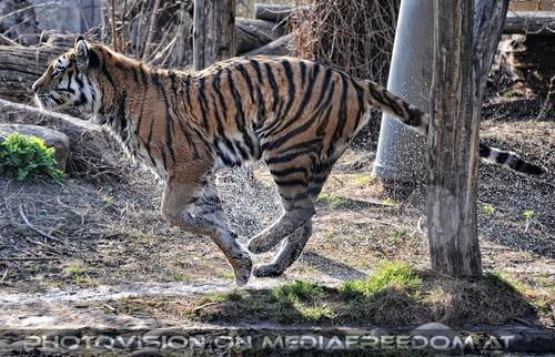 Start aus dem Wasser: Sibirischer Tiger