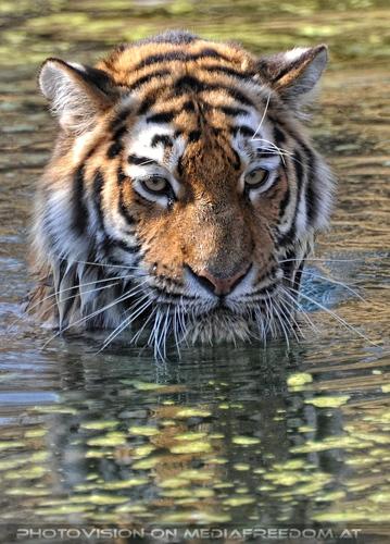 Ich bin soo brav...: Sibirischer Tiger