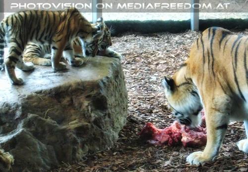 Futterverteilung an Tigerbabys: Sibirischer Tiger