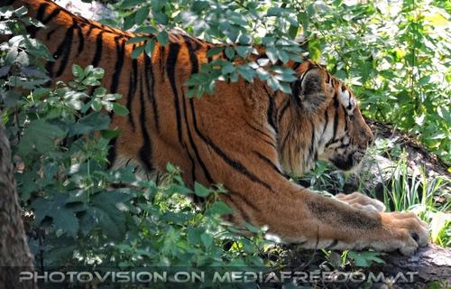 Aus dem Dickicht: Sibirischer Tiger