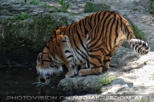An der Wasserstelle: Sibirischer Tiger