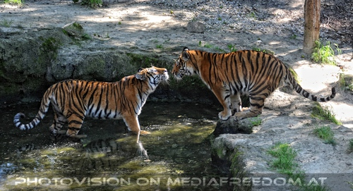 Sieh mich an: Sibirischer Tiger