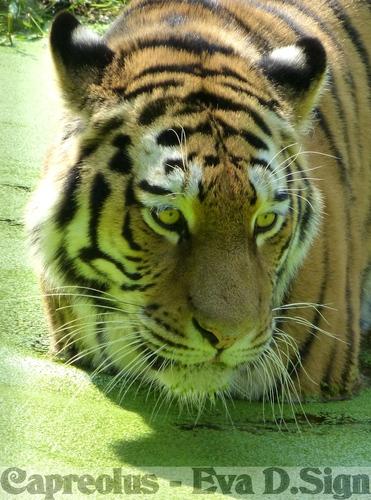 Da ist etwas ....: Sibirischer Tiger