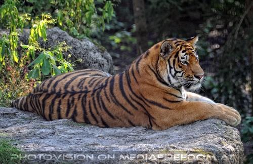 Auf dem Felsen: Sibirischer Tiger