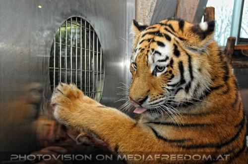 Wo ist mein leckeres Futter...: Sibirischer Tiger
