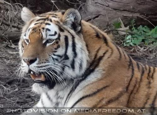 Auf der Lauer: Sibirischer Tiger