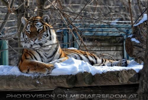 Auf der Schneeplattform: Sibirischer Tiger