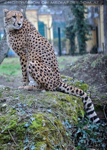 Gepard 1