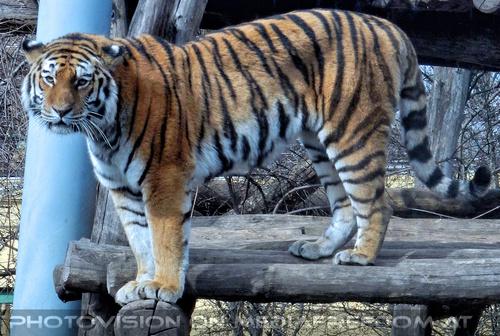 Sibirischer Tiger 4
