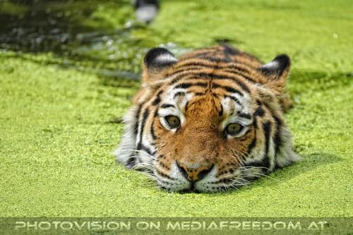 Schwimmend im Blütenteich: Sibirischer Tiger
