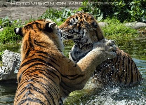 Sibirische Tiger im Wasser 04