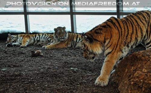 Sibirische Tiger im Schnee 08