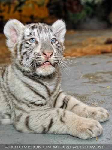 Kinderstube der weißen Tiger Drillinge 24