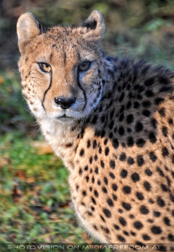 Geparden Blick