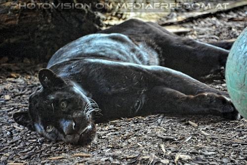 Jaguare 5