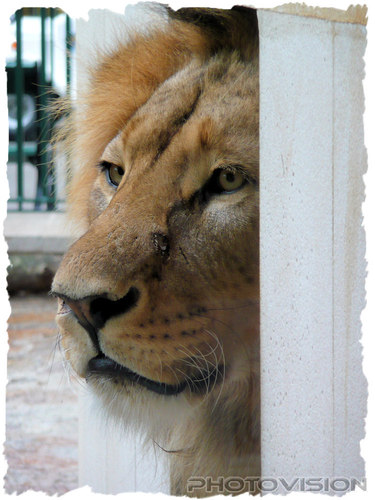 Lions Outlook: Löwe