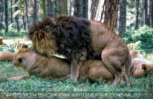 Löwen Anteil