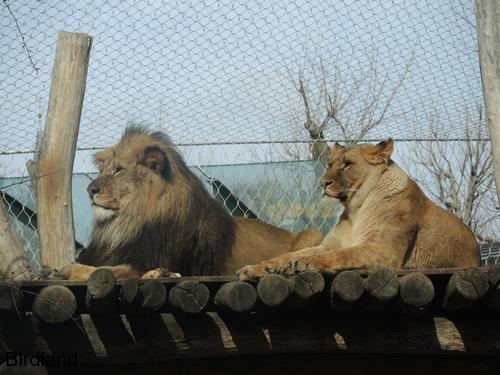 Löwen am Rastplatz: Löwen