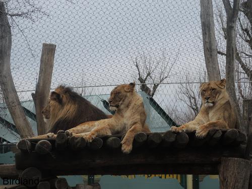 Löwen am Rastplatz2: Löwen