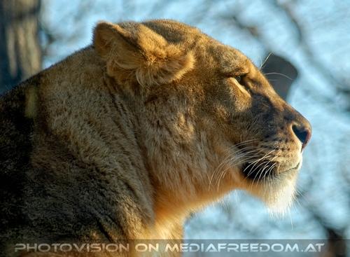 Löwen Portrait 1