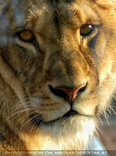 Löwen Portrait 2